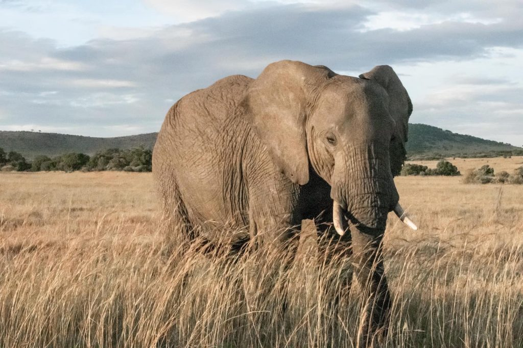 A picture of an elephant in Kenya. See more free swahili resources for speaking Swahili in Kenya and Tanzania.