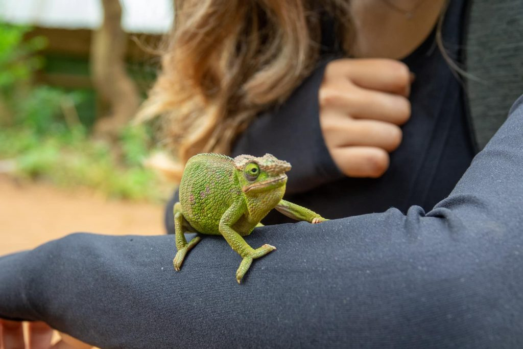 Hiking the Usambara Mountains in Tanzania - Jo with a chameleon on herarm