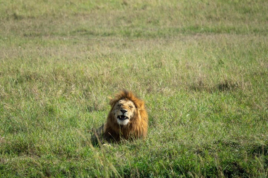 Lion lying down in the field in the Maasai Mar