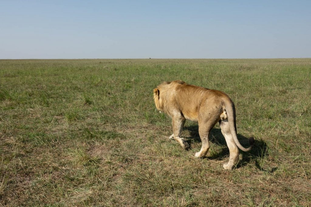 One big lion walking away. Got very close to our safari car