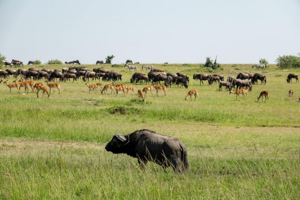 The Maasai Mara Wildebeest Migration - Buffalo, Antelope, and Zebras in one photo