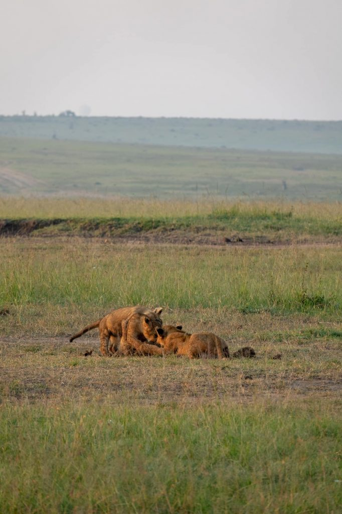 Three lions playing in the Maasai Mar