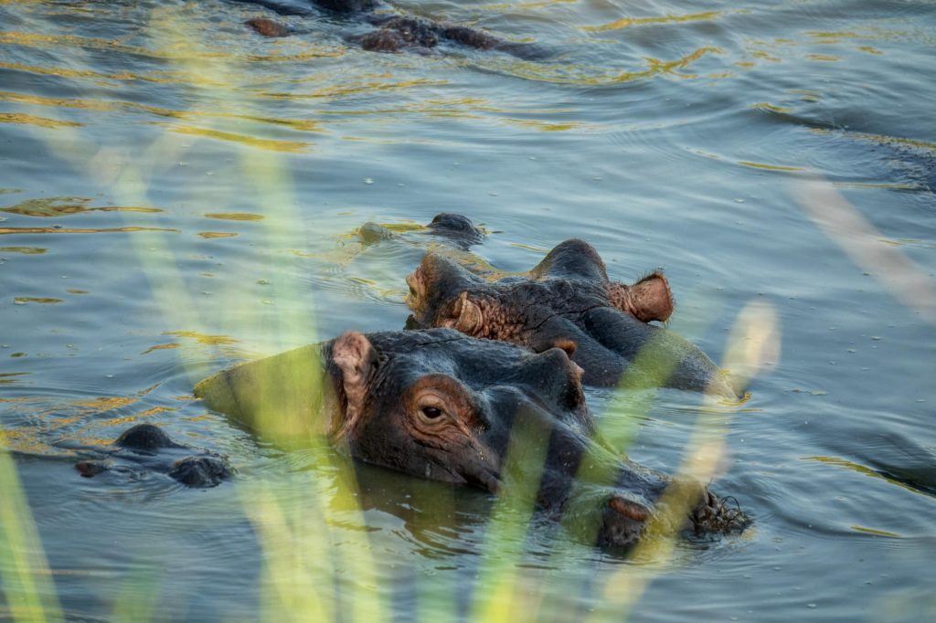 A hippo lurking in the water. On safari in Maasai Mara, Africa