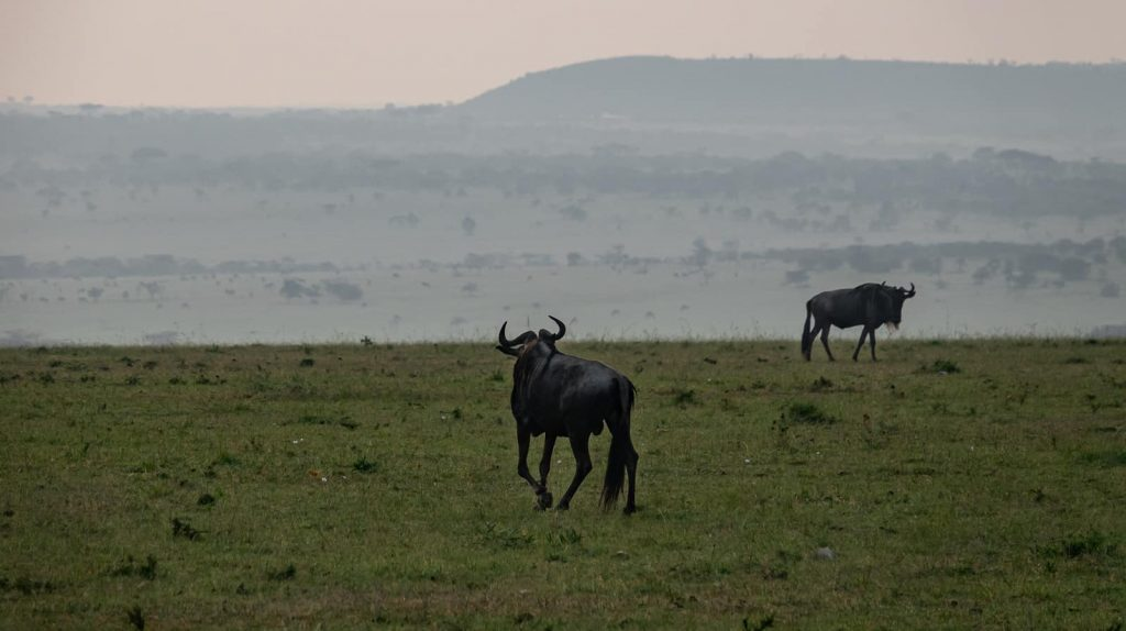 Wildebeest at dawn during the migration in Maasai Mara