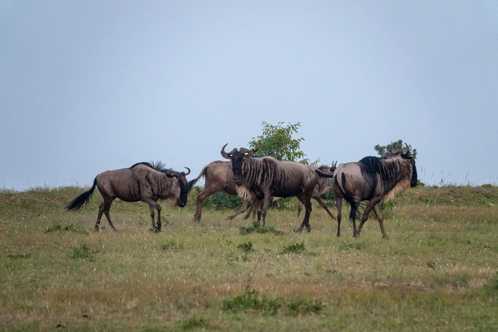 Wildebeest (Gnu) during the Maasai Mara Wildebeest Migration