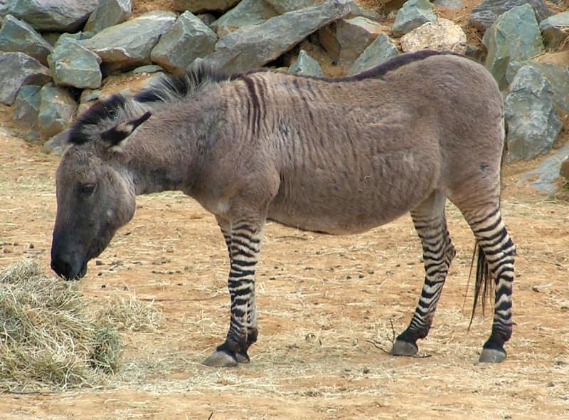 A Donkey Zebra Hybrid - Wikimedia Foundation