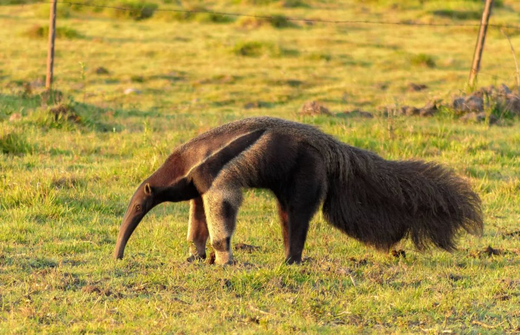 Giant anteater in Colombia — colombia is known for its biodiversity.