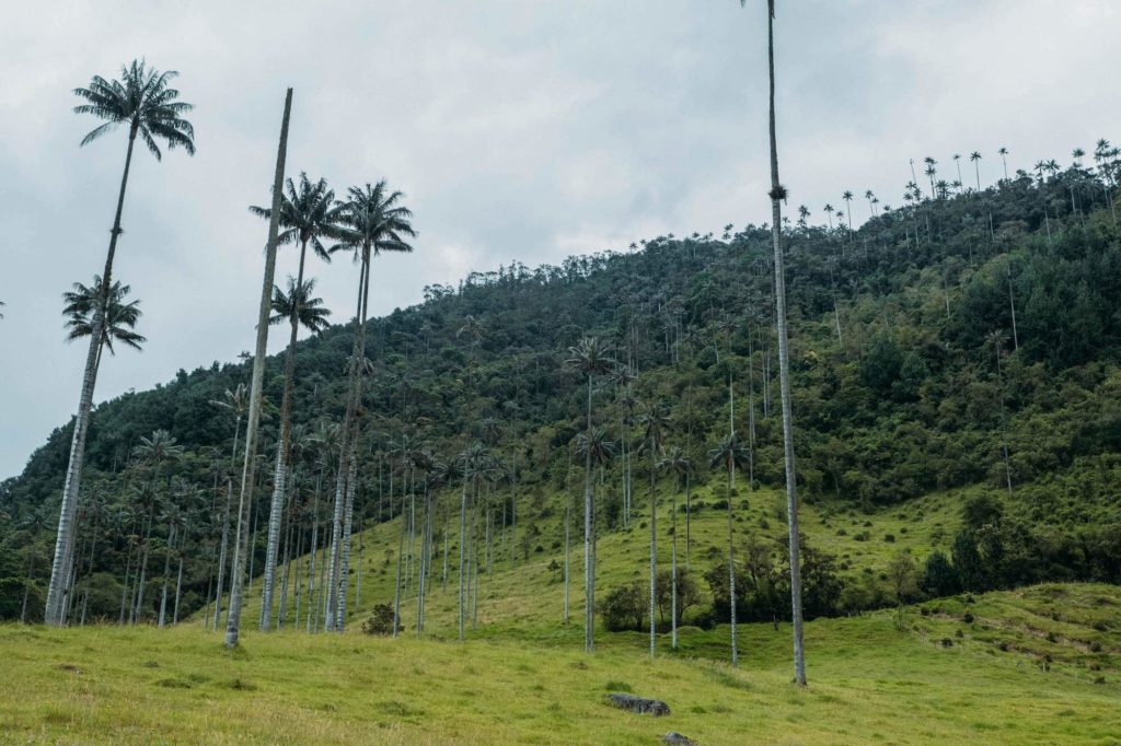 Valle de Cocora tall palm trees start of hike