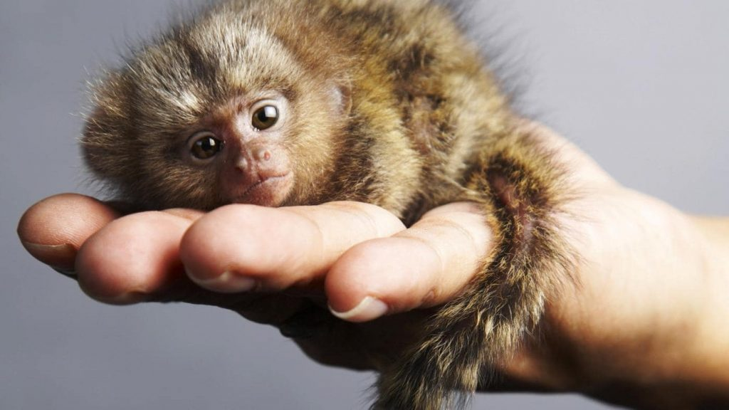 "A ouistiti (marmoset), which is how you say ""say cheese"" in French"