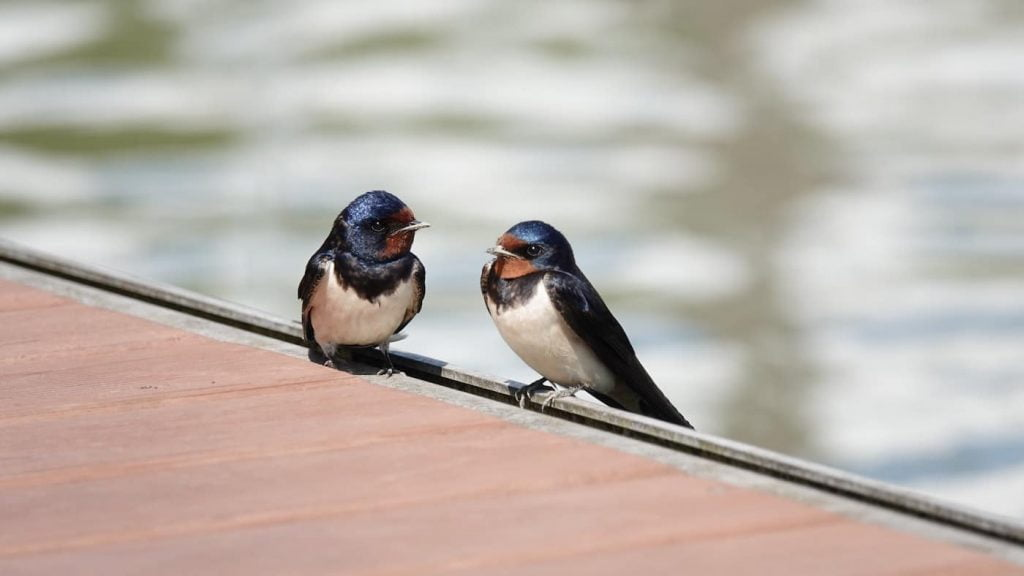 hirondelle is french for swallow bird